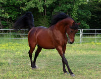 Arabischer Stallion Stockbilder