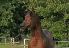 Arabischer Stallion Stockfotos