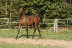 Arabischer Stallion Lizenzfreie Stockfotos
