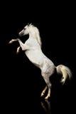 Arabischer Stallion getrennt Stockfotografie