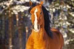 Arabischer Stallion im Winter Lizenzfreies Stockbild