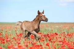 Arabisches Fohlen, das in rotes Mohnblumenfeld läuft Lizenzfreie Stockfotografie