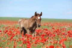 Arabisches Fohlen, das in rote Mohnblume läuft Lizenzfreie Stockfotografie