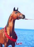 Arabisches Hengstporträt der Bucht auf dem Seehintergrund Stockfoto