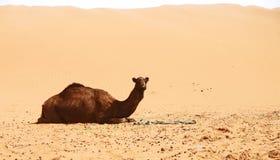 Arabisches Kamel Lizenzfreies Stockbild