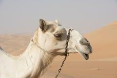 Arabisches Kamel im Profil Lizenzfreies Stockfoto