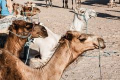 Arabisches Kamel oder Dromedar nannten auch ein einhöckriges Kamel in Stockbilder