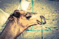 Arabisches Kamel oder Dromedar nannten auch ein einhöckriges Kamel in Lizenzfreie Stockbilder