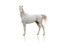 Arabisches Pferd Stockfotografie