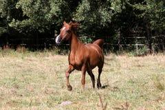 Arabisches Pferd Lizenzfreie Stockfotos