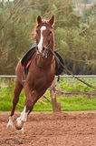 Arabisches Pferd Lizenzfreie Stockbilder