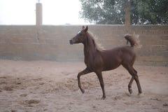 Arabisches Pferd Stockfotos