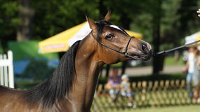 Arabisches Pferd Lizenzfreie Stockfotografie
