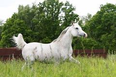 Arabisches Pferd, das auf Feld trottet Lizenzfreies Stockbild