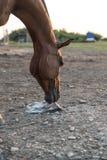 Arabisches Pferd, das Salz leckt stockbild