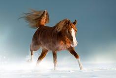 Arabisches Pferd der schönen Kastanie im Winter lizenzfreies stockfoto