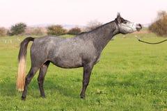 Arabisches Pferd in der Zeigenlage Stockfotos