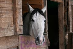 Arabisches Pferd im Stall stockbild
