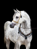 Arabisches Pferd, lokalisiert Lizenzfreies Stockfoto