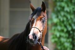 Arabisches Pferd mit Wasser lizenzfreie stockbilder