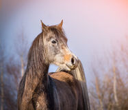 Arabisches Pferd mit Wintermantel auf Hintergrund des Himmels Stockbilder