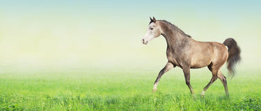 Arabisches Pferdebetriebstrab auf Wiese, Fahne Lizenzfreie Stockbilder