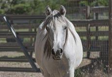 Arabisches Pferdekopf-Portr?t Front View stockfoto