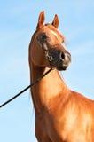 Arabisches Pferdenportrait der Kastanie Stockfotos