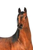 Arabisches Pferdenportrait des Schachtes auf Weiß Stockfotografie