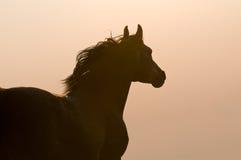 Arabisches Pferdenschattenbild auf dem goldenen Himmel Stockfotos