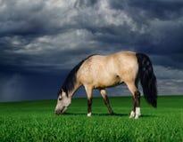 Arabisches Pony auf einer Wiese vor einem Gewitter Lizenzfreie Stockfotografie