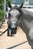 Arabisches und ägyptisches Pferd Lizenzfreies Stockfoto