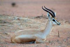 Arabisk gazelle Arkivbilder