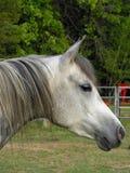 arabisk grå mare Royaltyfria Foton