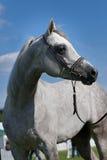 Arabisk häst Arkivbild