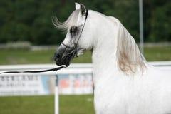 arabisk häst arkivfoto