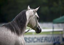 arabisk häst Fotografering för Bildbyråer