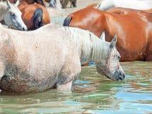 Arabisk häst för simning i sjön Fotografering för Bildbyråer