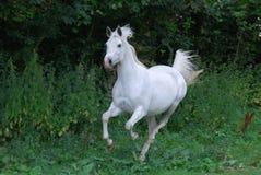 Arabisk häst i galopp Arkivfoto
