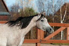 Arabisk häst i solnedgång Arkivbilder