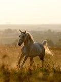 Arabisk häst i solnedgång Arkivbild
