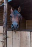 Arabisk häst i stall Fotografering för Bildbyråer