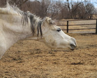 Arabisk häst med roligt uttryck Royaltyfri Fotografi