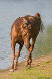 arabisk häst nära vatten Arkivfoto