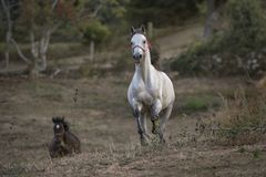 Arabisk häst som galopperar in mot kameran arkivbild