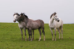 arabisk hästshagya Royaltyfri Bild