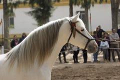 Arabisk hingst för härlig hispano i Jerez royaltyfri foto