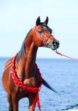 Arabisk hingststående för fjärd på havsbakgrunden Fotografering för Bildbyråer