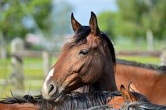 arabisk häst Royaltyfri Bild