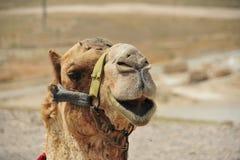 arabisk kamel Fotografering för Bildbyråer